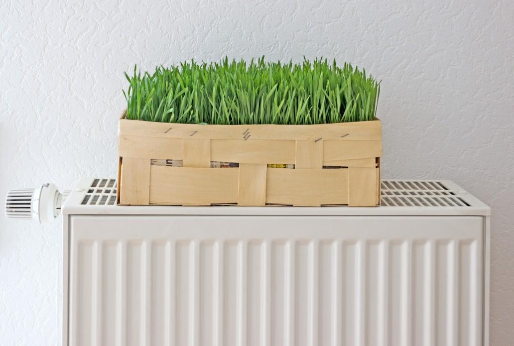 1 Korb Weizengras