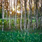 Sok z brzozy – eliksir prosto z natury