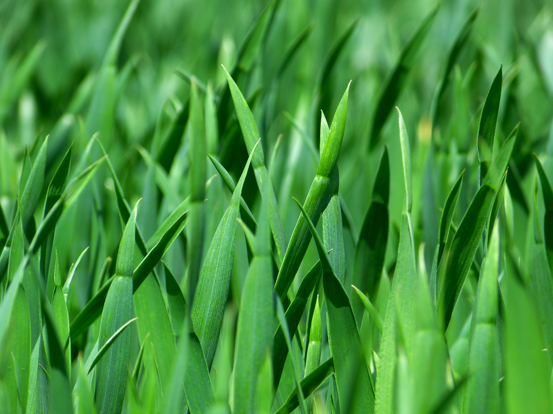 traw pszeniczna uprawa w domu