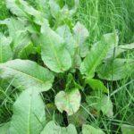 Szczaw – niedoceniana bomba witaminy C