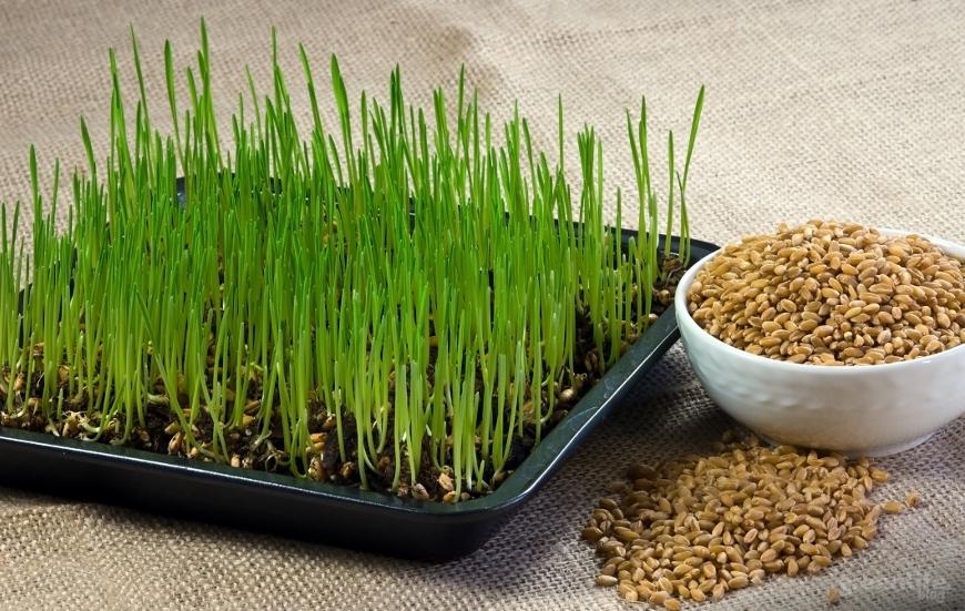 suplement diety zielony jeczmien